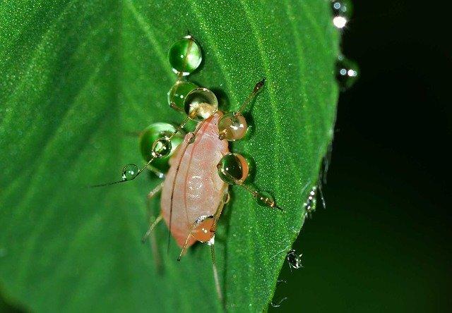 hmyz mšice